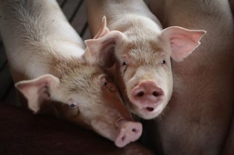 China autoriza compra de gordura de porco do Brasil