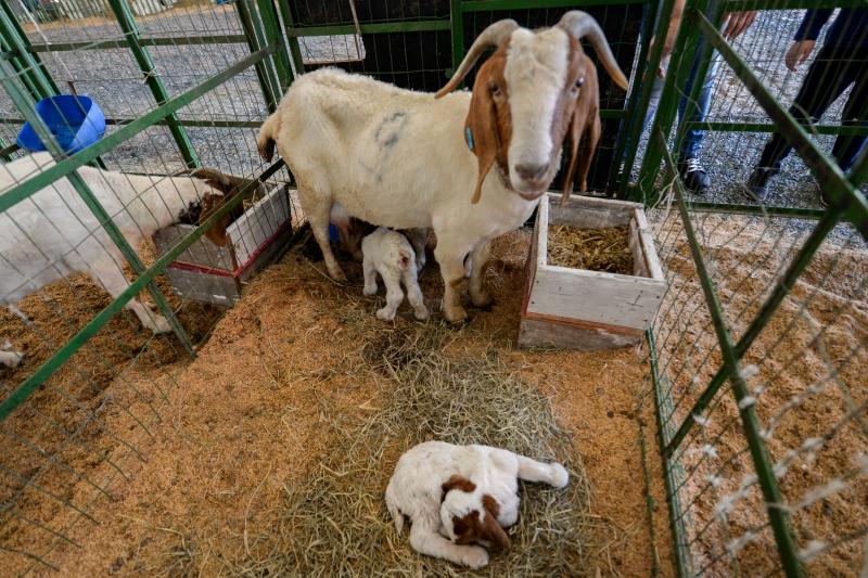 Cabra da raça Boer teve três filhotes na noite de domingo