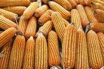 Milho tem alta de quase 5% em uma semana no preço pago ao produtor