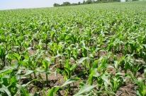 Comercialização de milho gera preocupação no Rio Grande do Sul