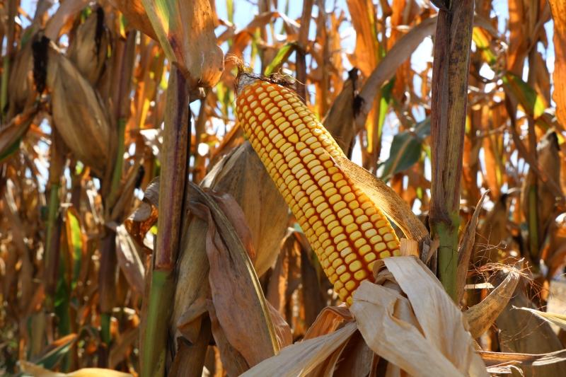Abertura oficial da colheita acontecerá no município de Chiapetta