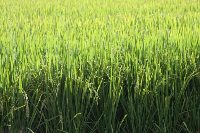 Caderno Dia da Indústria- matéria arroz- Credito  Sergio Pereira Divulgação Irga