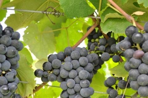 Isabel: a história do vinho gaúcho