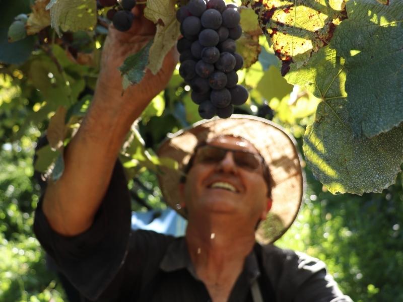 Marchioro ressalta que a uva Isabel sustenta muitas famílias