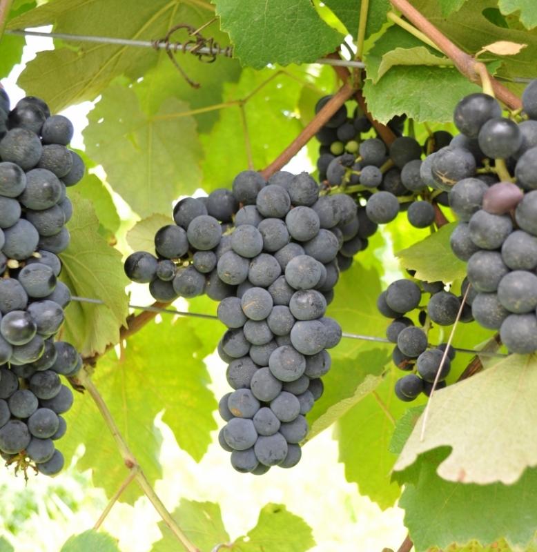 Já existe um clone da uva, chamado Isabel Precoce