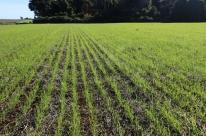 Conab prevê safra de trigo 22,2% maior no RS