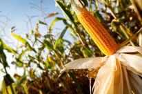 Novo zoneamento traz mais segurança para milho de 2ª safra