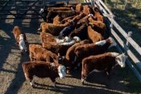 Abate de vacas prenhes sinaliza necessidade de ajuste na legislação estadual