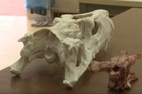 Fóssil de um dos dinossauros mais antigos do mundo é descoberto no Rio Grande do Sul