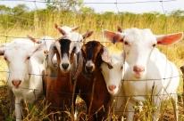 Caprinos e ovinos serão monitorados via digital