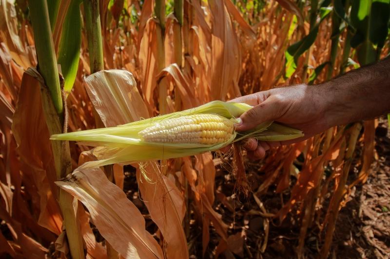 Milho foi a cultura mais afetada pela falta de precipitações do Estado