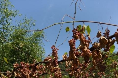 Safra de uva está comprometida pela falta de chuva no Rio Grande do Sul