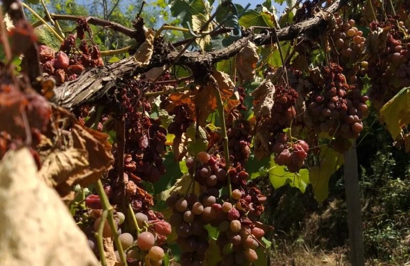 Falta de chuva resseca frutos e muda a paisagem das plantações
