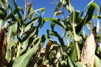 Seminário debaterá o consumo de milho pelas cadeias produtivas no RS
