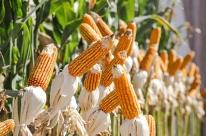 Conab registra aumento de 126,3% na venda de milho no RS em 2020