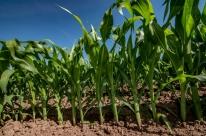 Milho de baixa estatura reduz perdas na lavoura