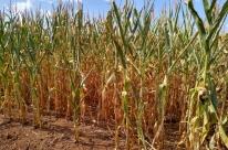La Ninã e pouca chuva no final do ano colocam milho novamente em alerta