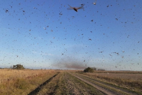 Nuvem de gafanhotos na Argentina deixa agropecuaristas gaúchos em alerta