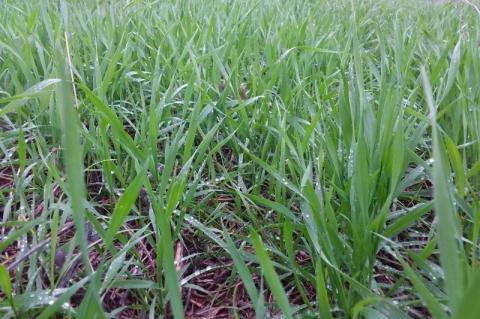 Chuva em excesso pode frustrar bom momento do trigo no Rio Grande do Sul