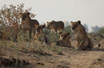 TV Brasil estreia série documental sobre a vida dos leões