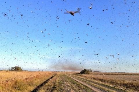 Calor reacende risco de invasão de gafanhotos no Rio Grande do Sul