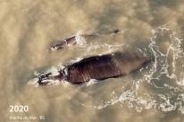 Baleia-franca visita litoral gaúcho pela terceira vez em 16 anos