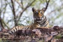 NatGeo Wild exibe documentários especiais no Dia Mundial dos Tigres