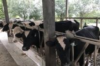 Programa de genética faz aumentar a produção de leite em Venâncio Aires