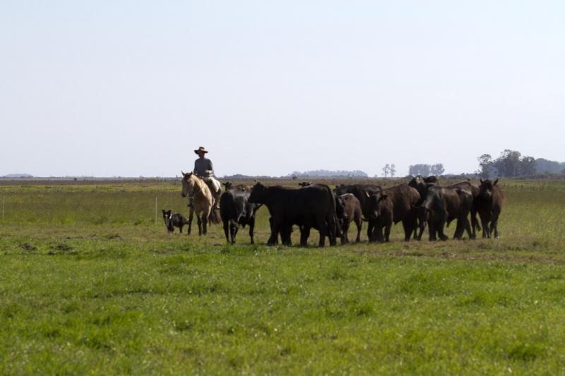 Criação de bovinos foi um dos setores que mais contratou