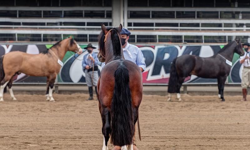 Seleção encerra ciclo que fecha a lista de cavalos crioulos que disputarão Nacional da Morfologia