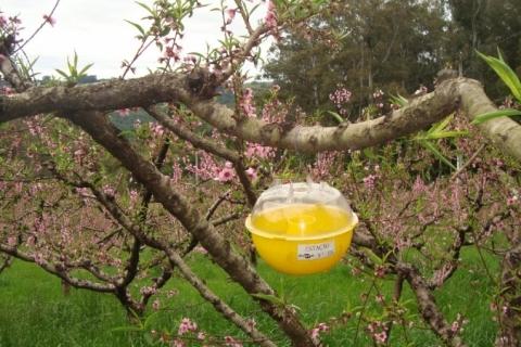 Sistema tenta evitar praga na produção de pêssegos