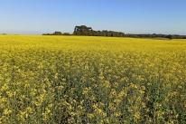 Colheita da canola traz otimismo a agricultores da Serra