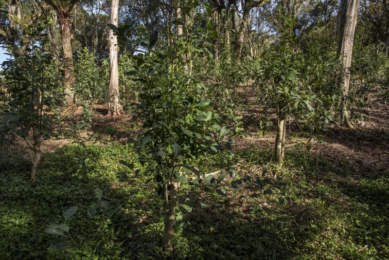 Informações preliminares apontam que há deficiência de fósforo e de cálcio na maioria dos solos analisados