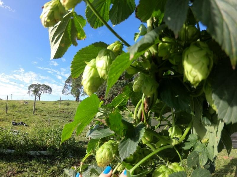 Objetivo é produzir a planta, usada na fabricação de cerveja, a custo mais baixo e com características regionais