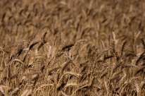 Ausência de chuvas ajuda na colheita do trigo e acelera o ciclo da cultura, aponta Emater