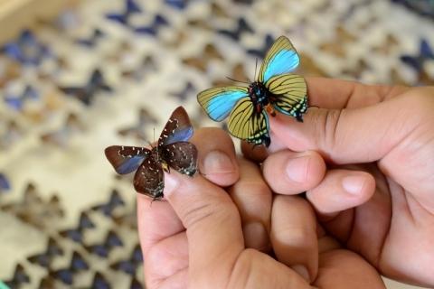 Rio Grande do Sul tem mais de 900 espécies de borboletas, segundo Ufrgs