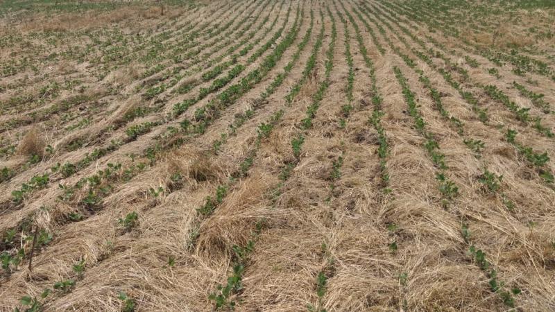 Soja recém semeada sobre a palha de trigo já corre riscos no Rio Grande do Sul