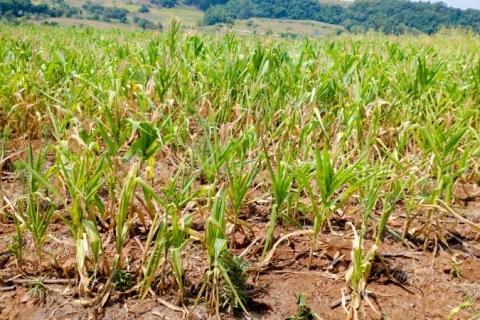 Safra de milho terá nova queda no RS, afirma Conab