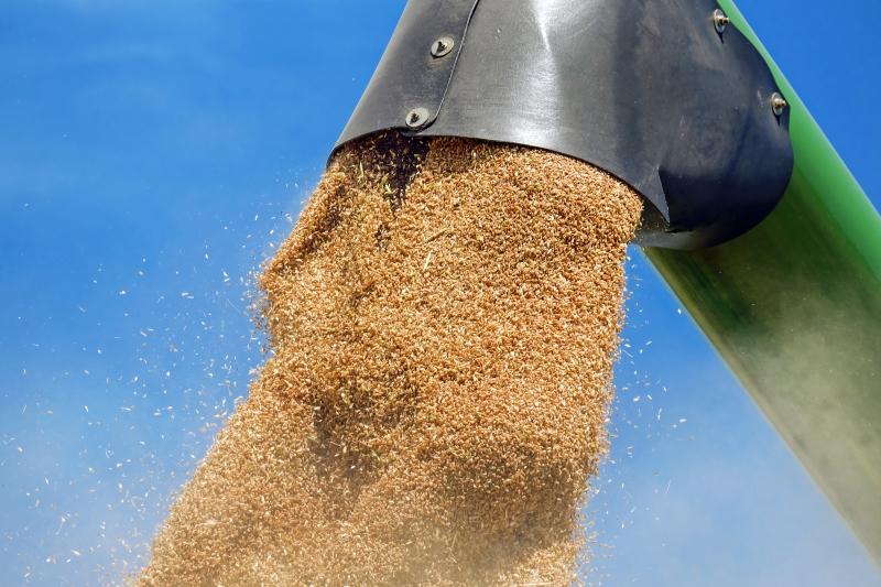 Caso o cereal não tenha a qualidade que a indústria moageira exige, pode ser vendido para fabricação de ração