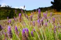 Projeto estimula a produção de chás, óleos, plantas medicinais e aromáticas no RS