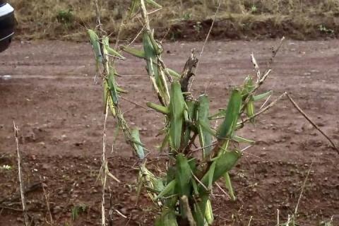 Gafanhotos são avistados no Rio Grande do Sul; agricultores temem ataque a lavouras