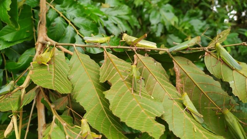 Novos registros do inseto foram feitos em Bom Progresso, distante 44 km de Santo Augusto