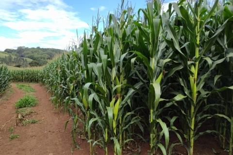 Chuvas contribuem para desenvolvimento do milho no RS