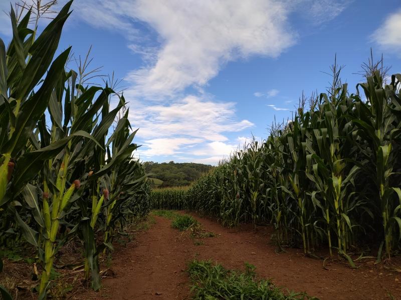 Colheita do milho no Rio Grande do Sul já atingiu 55% da área total cultivada