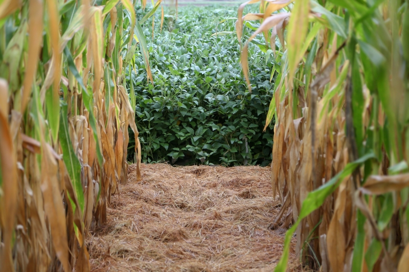 Produtor deve escalonar a época de semeadura para evitar perdas em caso de falta de chuvas