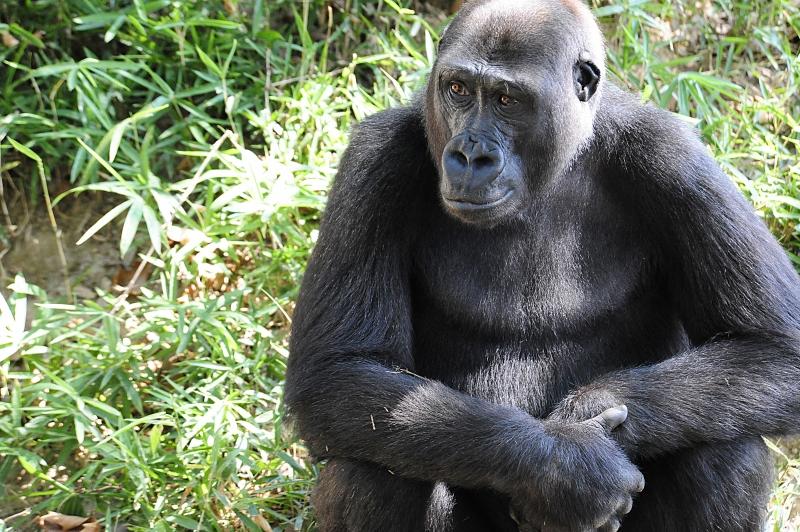 Parte dos 20 gorilas do zoológico apresentou sintomas como coriza e perda de apetite