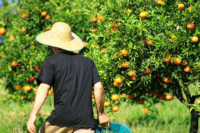 Clima está contribuindo para boa qualidade das bergamotas e laranjas