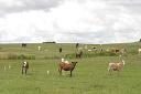 Reposição de terneiros impacta nos ganhos da pecuária