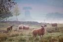 Clima afeta qualidade de pastagens e condição corporal dos ovinos
