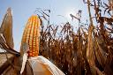 Colheita da safra de milho começa no Estado